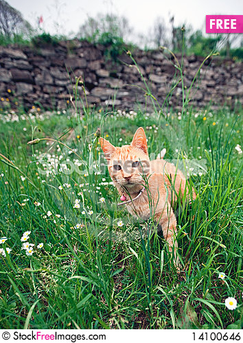 Free Cat In The Grass Royalty Free Stock Image - 14100646