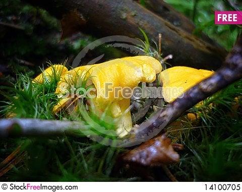Free Golden Chanterelle Mushroom Royalty Free Stock Photo - 14100705