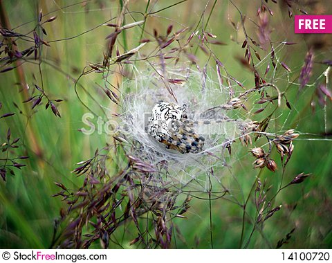 Free Pregnant Spider Stock Photo - 14100720