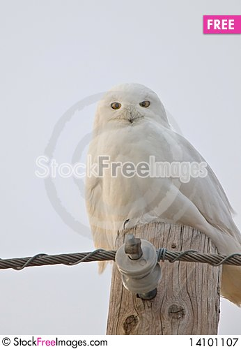 Free Snowy Owl Saskatchewan Canada Royalty Free Stock Photography - 14101107