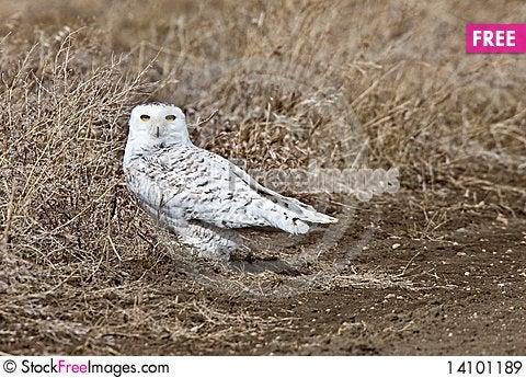 Free Snowy Owl Saskatchewan Canada Royalty Free Stock Images - 14101189
