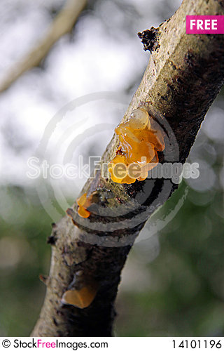 Free Jelly Fungus Growing On A Tree Branch Royalty Free Stock Image - 14101196