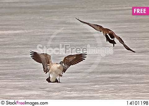 Free Canada Geese Fighting Playing On Ice Royalty Free Stock Photos - 14101198
