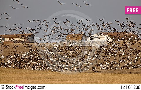 Free Snow Geese And Whie Fronted Geese Canada In Flight Royalty Free Stock Photos - 14101238