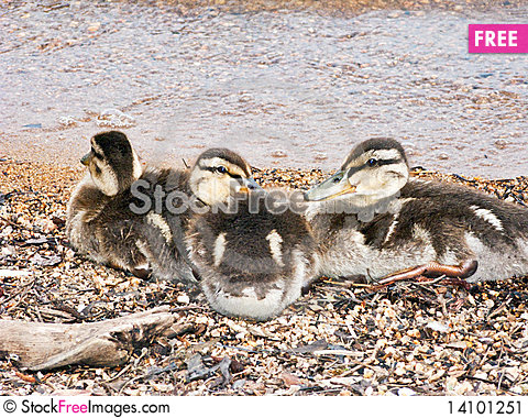 Free Baby Ducks Cuddling Stock Image - 14101251