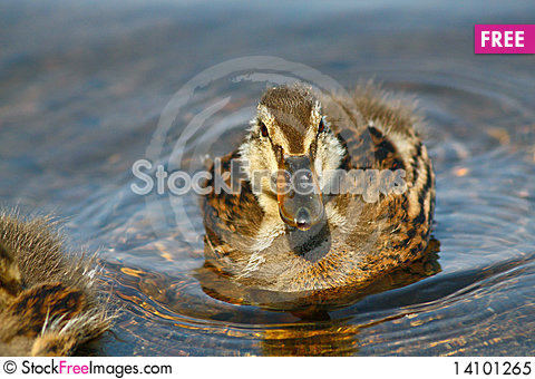 Free Duckling In Water Royalty Free Stock Photo - 14101265