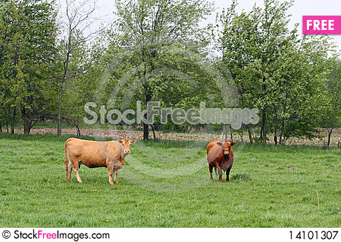 Free Cows In Pasture Royalty Free Stock Photography - 14101307