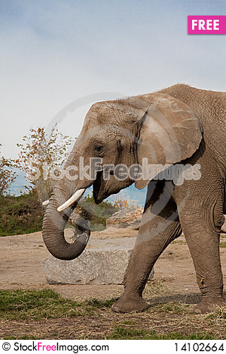 Free Elephant Eating Some Grass Stock Images - 14102664