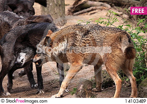 Free Wolf (canis Lupus) Royalty Free Stock Images - 14103489