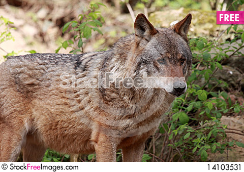 Free Wolf (canis Lupus) Stock Image - 14103531