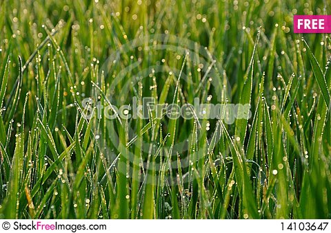 Free Fresh Green Dew Grass Royalty Free Stock Photography - 14103647