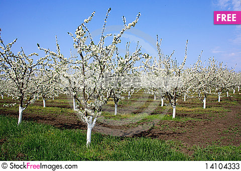 Free Spring Garden Of Fruit Trees Stock Photos - 14104333