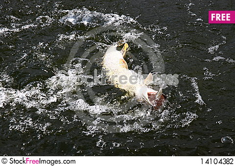 Free Catching Pike Fish With Tackle Stock Photography - 14104382