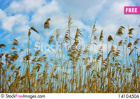 Free Dry Reed Royalty Free Stock Image - 14104506