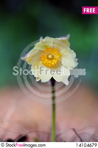 Free Spring Flower Head Snowdrop Royalty Free Stock Images - 14104679
