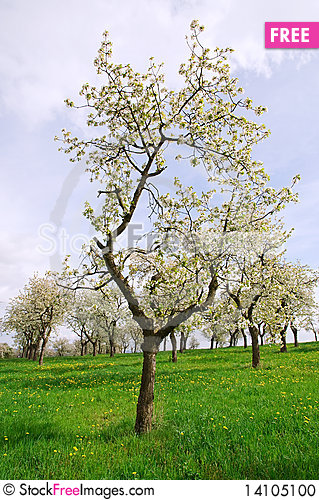Free Spring Trees On The Meadow Stock Photo - 14105100