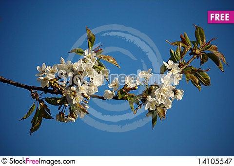 Free Cherry Tree Royalty Free Stock Photography - 14105547