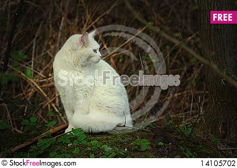 Free White Cat Stock Photography - 14105702