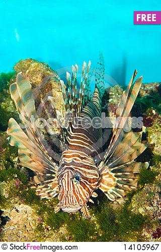 Free Volitan Lionfish In Aquarium Royalty Free Stock Photography - 14105967