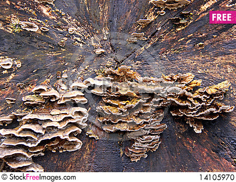 Free Bracket Fungi On A Dead Tree Stock Photo - 14105970