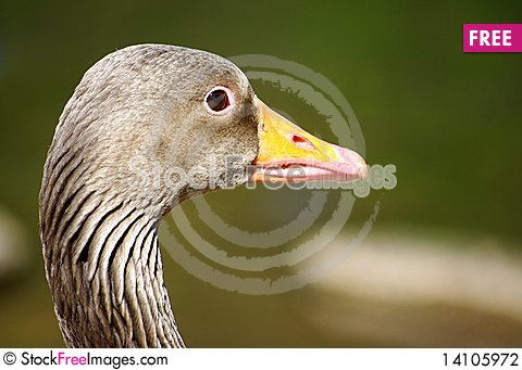 Free Goose Stock Photography - 14105972