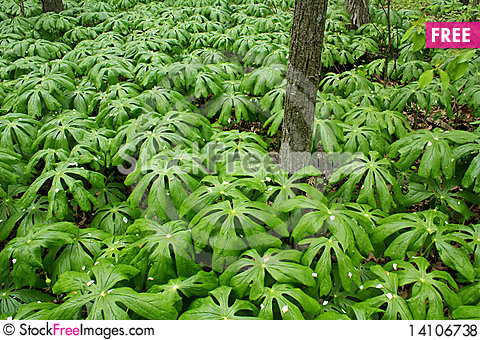 Free Ground Cover In The Forest Royalty Free Stock Photos - 14106738