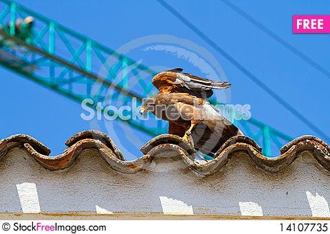 Free Golden Eagle Royalty Free Stock Photo - 14107735
