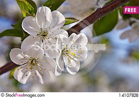 Free Flowering  Cherry Royalty Free Stock Photos - 14107828
