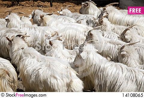 Free Sheep Royalty Free Stock Photo - 14108065