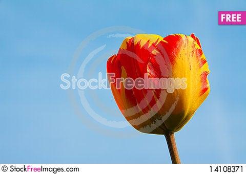 Free Tulips Stock Image - 14108371