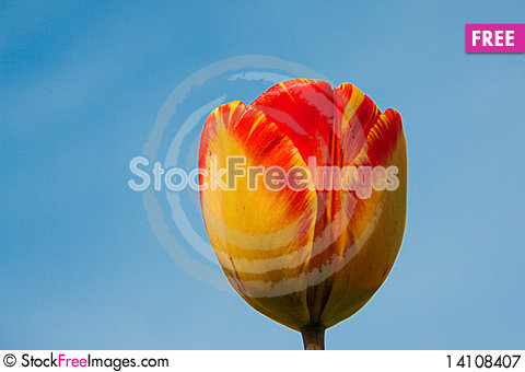 Free Tulips Royalty Free Stock Photography - 14108407