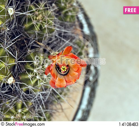 Free Caterpiller In A Cactus Flower Stock Photos - 14108483