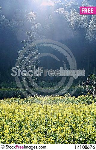 Free Canola Field Royalty Free Stock Image - 14108676