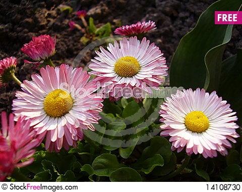 Free Daisy Stock Photo - 14108730