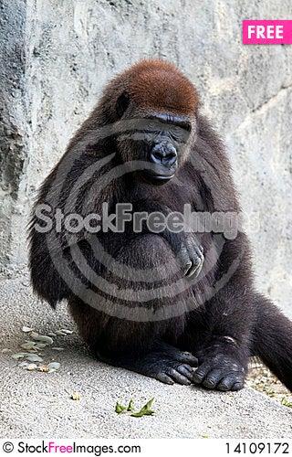 Free Lowland Gorilla Stock Photography - 14109172