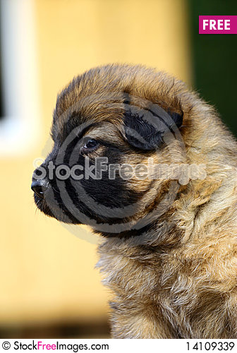 Free Puppy Portrait Royalty Free Stock Images - 14109339