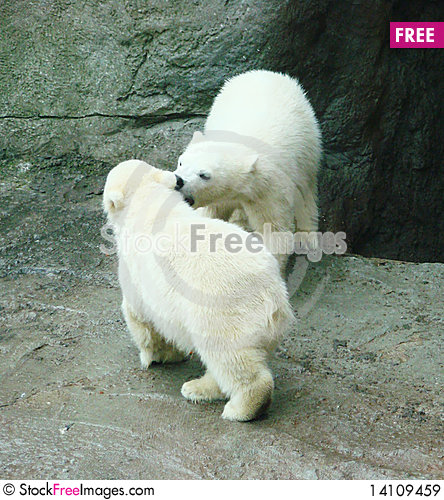 Free Cubs Of A Polar Bear Royalty Free Stock Images - 14109459
