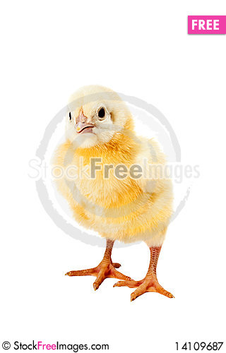 Free Newborn Small Chicken On White Royalty Free Stock Photography - 14109687