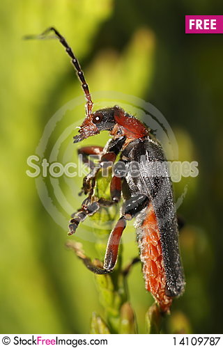 Free Longhorn Beetle - Strangalia Melanura Royalty Free Stock Photography - 14109787