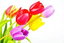 Free Tulips Stock Photo - 14100300