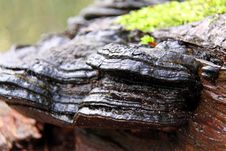 Bracket Fungi Royalty Free Stock Photo