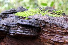 Free Bracket Fungi And Moss Stock Photos - 14100913
