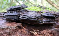 Bracket Fungi Royalty Free Stock Image