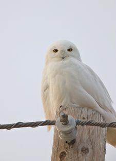 Free Snowy Owl Saskatchewan Canada Royalty Free Stock Photography - 14101107