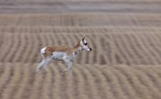 Free Pronghorn Antelope Saskatchewan Canada Stock Photo - 14101150