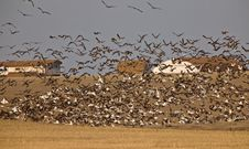 Snow Geese And Whie Fronted Geese Canada In Flight Royalty Free Stock Photos