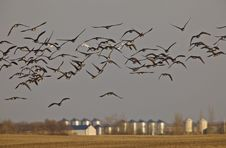 Snow Geese And Whie Fronted Geese Canada In Flight Stock Photography
