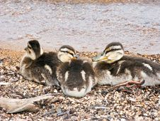 Free Baby Ducks Cuddling Stock Image - 14101251