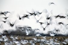 Motion Blurred Panned  Snow Geese