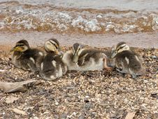 Free Baby Ducks Snuggling Royalty Free Stock Image - 14101256